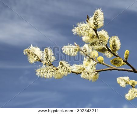 Blossoming Willow Branch Against The Background Of The Sky