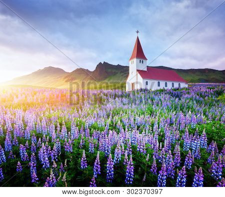 Lutheran Myrdal church surrounded by blooming lupine flowers, Vik, Iceland. Landscape photography
