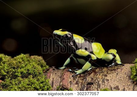 Poison dart frog,Dendrobates auratus from the Amazon rain forest in Colombia.  A macro of a poisonous amphibian in the rainforest. Toxic animal. poster