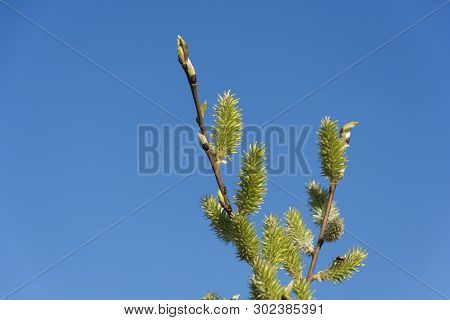 A Twig With Green Buds With An Ant And Bugs Against A Blue Sky.