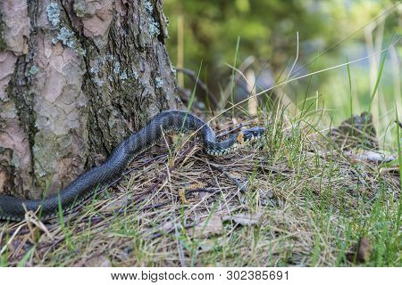 A Small Snake Basks In The Sun At The Trunk Of A Pine Tree On A Spring Day.