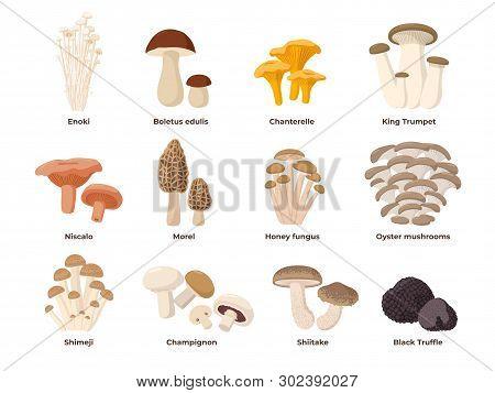 Large Mushroom Set Of Vector Illustrations In Flat Design Isolated On White. Cep, Chanterelle, Honey