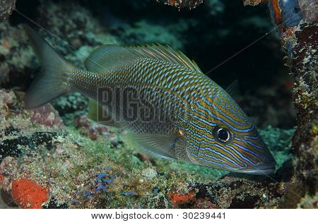 White Grunt In a Coral Cave
