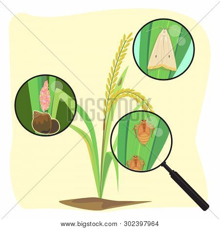 Vector Of Rice Plant And Close Up Of Rice Enemy.