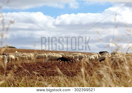 Sheep Grazing Near The Village Of Molina De Aragon, Castile Leon, Spain