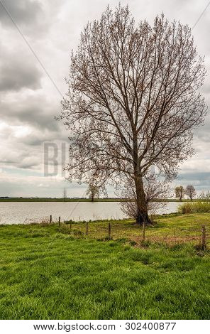 Tall Tree Just Budding On The Flood Plain Of The Dutch River Bergsche Maas Near The Village Of Dusse