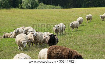 Sheep Herd Walking And Grazing In Summer Pastureland