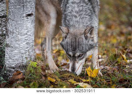 Grey Wolf (canis Lupus) Sniffs Ground Next To Tree Autumn - Captive Animal