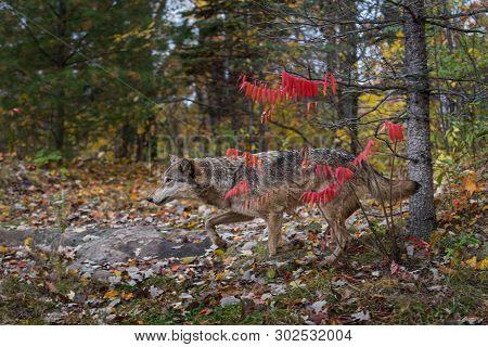 Grey Wolf (canis Lupus) Runs Past Sumac Bush Autumn - Captive Animal