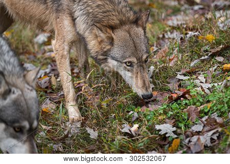 Grey Wolves (canis Lupus) Noses To Ground Autumn - Captive Animals