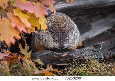Woodchuck (marmota Monax) Eyes Lowered In Log Autumn - Captive Animal