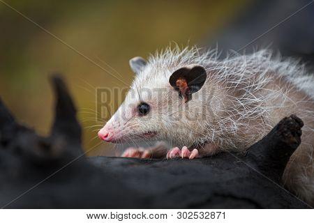 Opossum Joey (didelphimorphia) Close Up On Log Autumn - Captive Animal