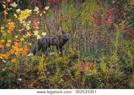 Cross Fox (vulpes Vulpes) Stands In Autumn Colors - Captive Animal