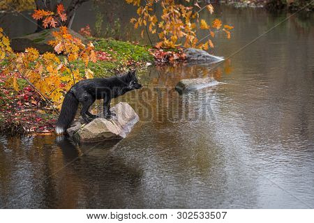 Silver Fox (vulpes Vulpes) Stares Out From Atop Rock Autumn - Captive Animal