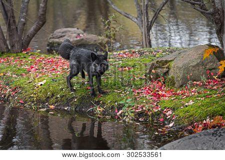 Silver Fox (vulpes Vulpes) Looks Out Back Leg Lifted Autumn - Captive Animal