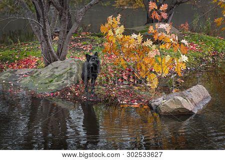 Silver Fox (vulpes Vulpes) Looks Up On Island Autumn - Captive Animal