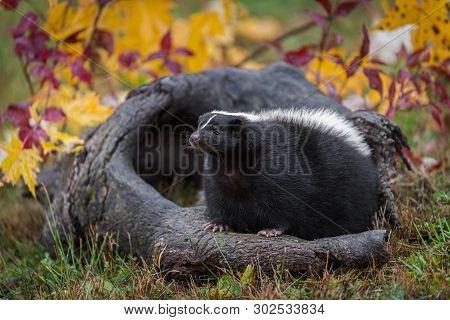 Striped Skunk (mephitis Mephitis) Sits On Log Autumn - Captive Animal