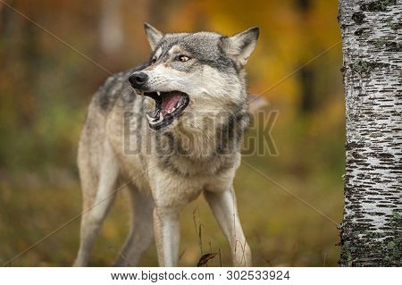 Grey Wolf (canis Lupus) Looks Left Open Mouth Autumn - Captive Animal