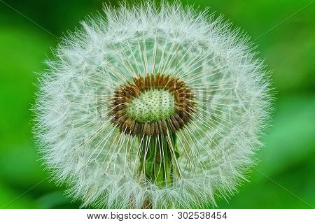 One White Old Dandelion On A Green Background In The Spring Garden