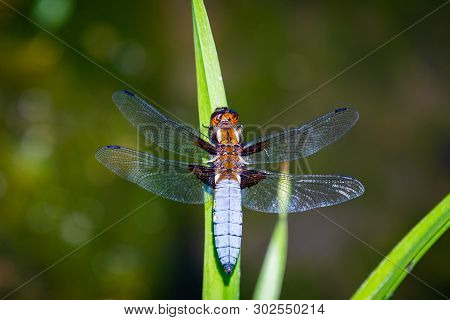 Emperor Dragonfly Or Anax Imperator Sitting On Green Leaf.