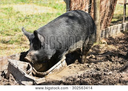 A Close Up Image Of A Large Domestic Pig In A Pigpen.