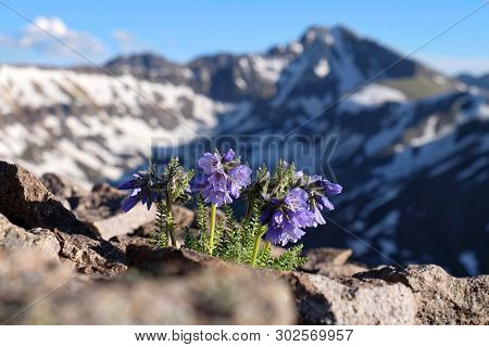 Skypilot Blossoms In High Mountain Pass. Snowy Sky Pilot Flowers On Rocks. Mount Whitney.  Californi