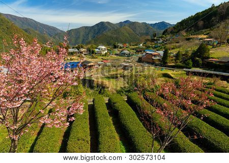 Japanese tea field at spring in Kansai