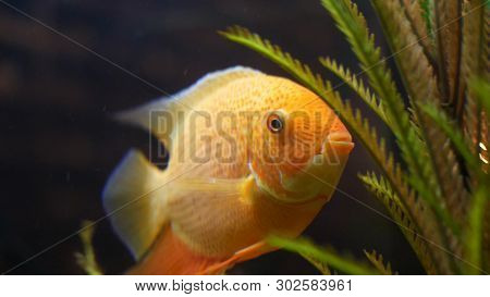 Close Up For Goldfish In Aquarium With Green Plants Pets Concept Frame Beautiful Golden Fish Opening Its Mouth And Moving Its Fins Near Green Algae Poster Id 302583961