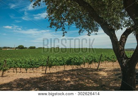 Landscape Of Many Vines Stretches As Far As The Eye Could See And Leafy Tree In A Vineyard Near Estr