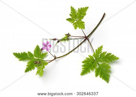 Fresh twig of Roberts geranium, herb Robert,, isolated on white background