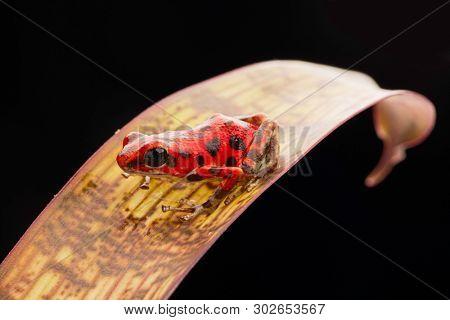 Poison dart frog, Oophaga pumilio on the Island of Bastimentos, Bocas del Toro, Panama. A small poisonous rain forest amphibian. poster