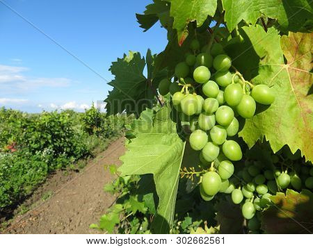 Green vineyard, bunches of white grapes growing in summer. Rural landscape with unripe grapevine and blue sky, winemaking concept poster