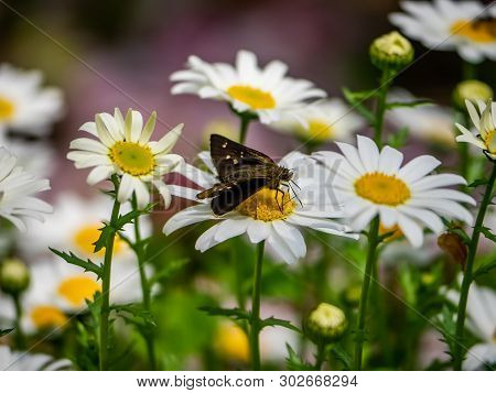 A Grass Skipper Butterfly Feeds From Daisies In A Park In Yamato, Japan. There Are Several Species O