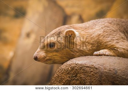 Common Rock Hyrax - Procavia Capensis, Mammal From African Mountains, Namibia.