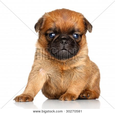 Griffon Bruxelles puppy sits on a white background poster