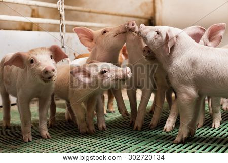 Piglets Playing In Barn