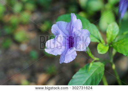 Beautiful Ruellia Tuberosa Flower Blooming With Blurred Background.