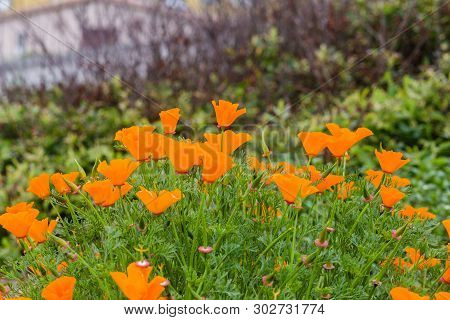 California Poppy Field Growing In A Meadow On A Coastal Trail In Pacifica, California