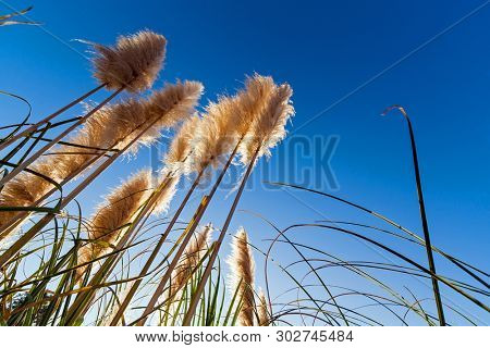 Pampas grass aka Cortaderia selloana silhouette or backlit, against a blue sky during sunrise, dawn or sunset