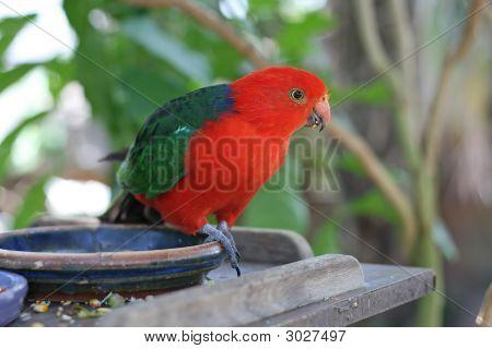Male Australian King Parrot