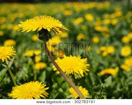 Yellow Dandelions. Bright Flowers Dandelions On Background Of Green Spring Meadows.