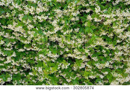 White Jasmine Or Jasminum Flowers Wall Background