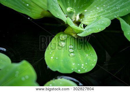 Water Drop On Water Lettuce ( Pistia Stratiotes Linnaeus ) In The Pool