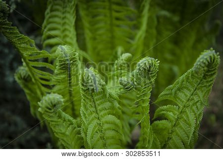 Vernal Unfolding Fern Leaves. Young Sprouts Of Fern Of Light Green Color. Forest Plants. Spring Gree