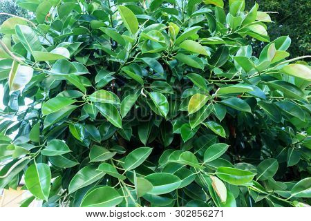 Ficus Elastica in Summer Closeup, Green Tropical Background, Houseplant Fig Ficus Rubber Elastica Tree with Green Big Smooth Leaves and Trunk, Urban Gardening, Home Planting, Houseplant Ficus Elastica