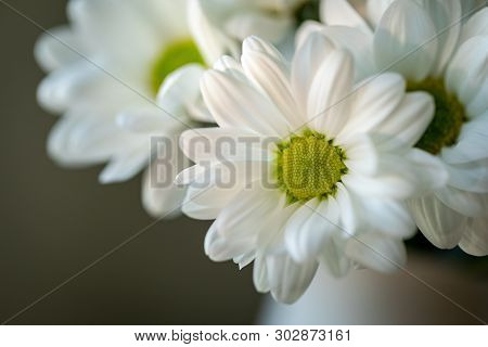 Chrysanthemum Flower. Closeup Of White Chrysanthemum. Floral Natural Background.