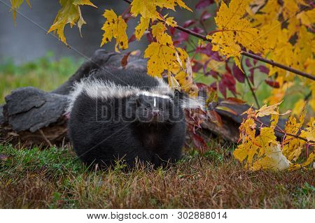 Striped Skunk (mephitis Mephitis) Nose Up Near Log Autumn - Captive Animal