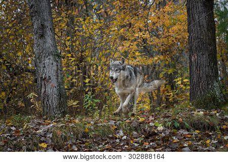 Grey Wolf (canis Lupus) Runs Forward Through Forest Autumn - Captive Animal