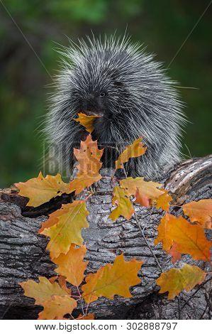Porcupine (erethizon Dorsatum) Leaf In Mouth Chewing Autumn - Captive Animal
