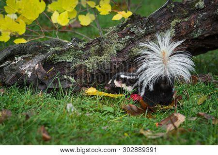 Eastern Spotted Skunk (spilogale Putorius) Turns Left Near Log Autumn - Captive Animal